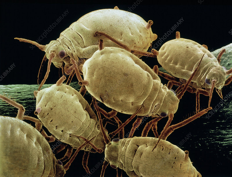SEM of a group of wingless aphids
