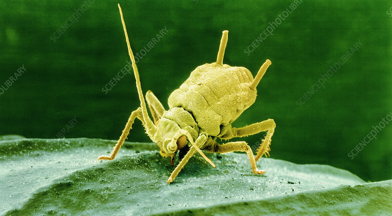 Coloured SEM of Rose aphid nymph feeding on a leaf
