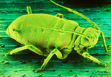 Coloured SEM of an aphid (greenfly) on a leaf
