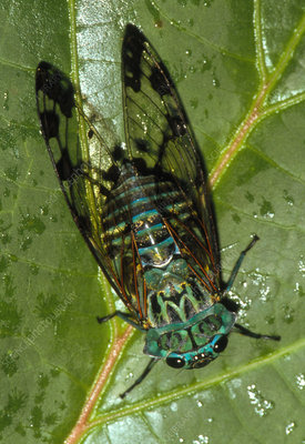 View of a cicada resting on a leaf