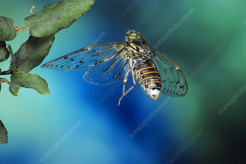 High-speed photo of a cicada in flight