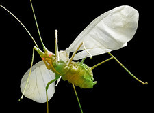 Aphid in flight