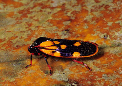 Tropical Froghopper