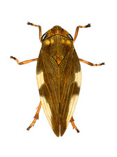 Large froghopper