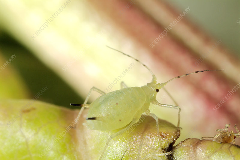 Myzus varians aphid
