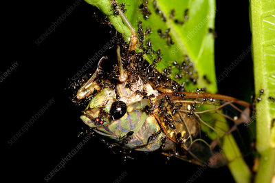 Cicada being swarmed by ants
