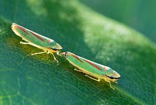 Rhododendron leafhoppers courting