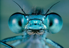 Head and compound eyes of the damselfly, Agrion