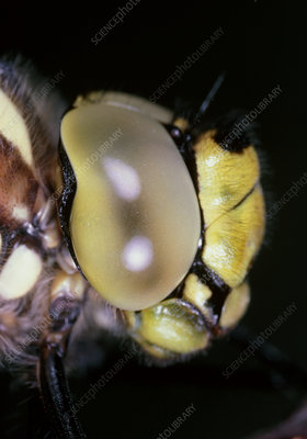 Macrophotograph of dragonfly's head in profile