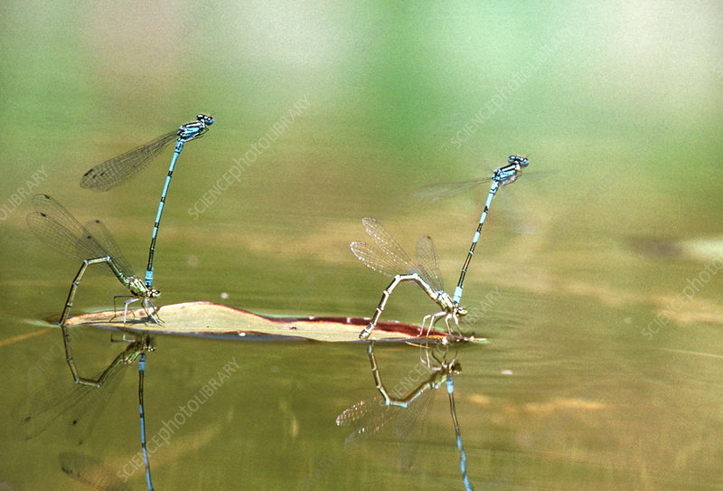 Damselflies laying eggs after mating