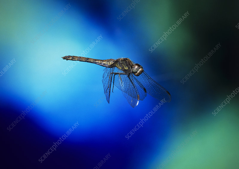 High-speed photo of a dragonfly in flight