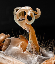 Damselfly penis, coloured SEM