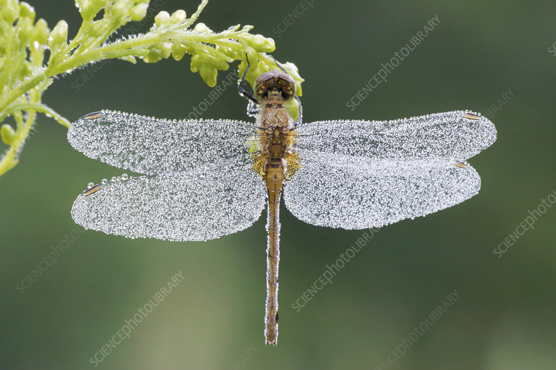 Dragonfly covered in condensation