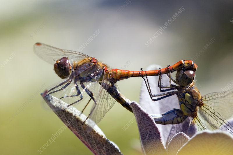 Common darter dragonflies