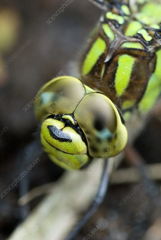 Female southern hawker dragonfly
