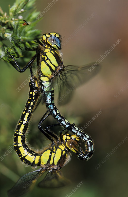 Hairy dragonflies mating