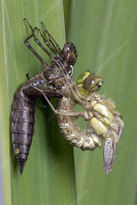 Golden ringed dragonfly metamorphosis