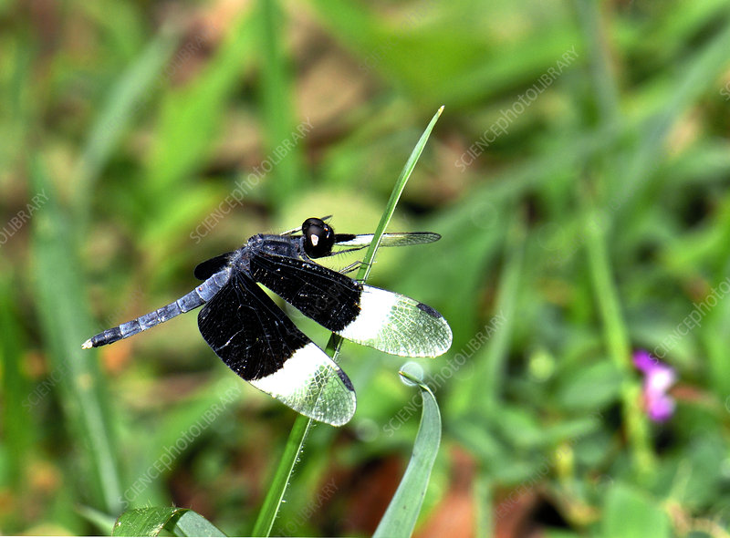 Male pied paddy skimmer dragonfly