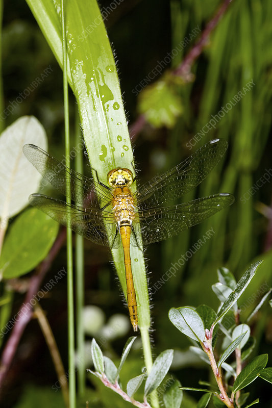 Female common darter dragonfly