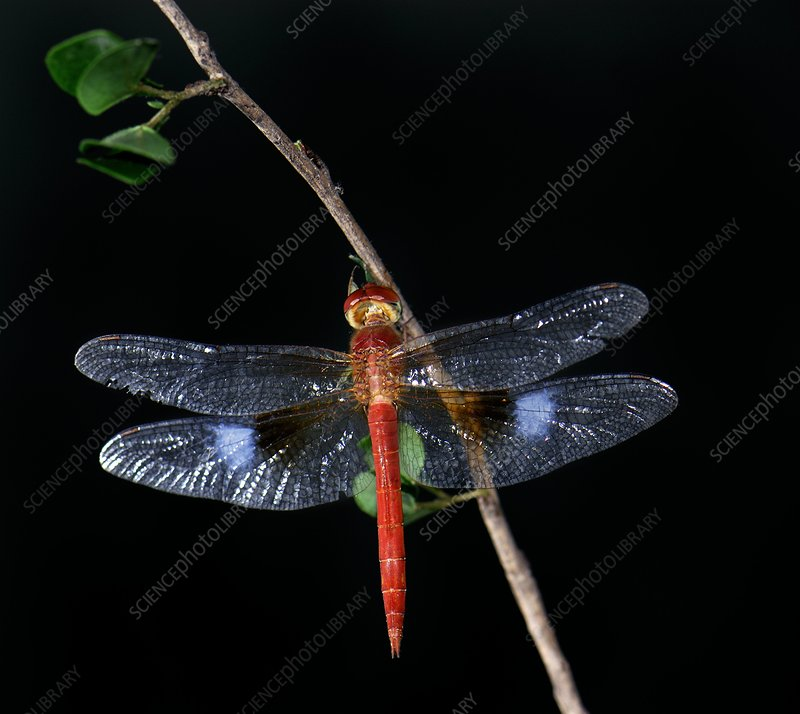 Coral-tailed cloud wing dragonfly