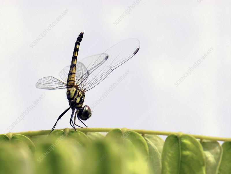 Female dragonfly landing