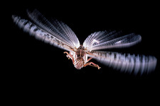 Macrophotograph of a flying desert locust
