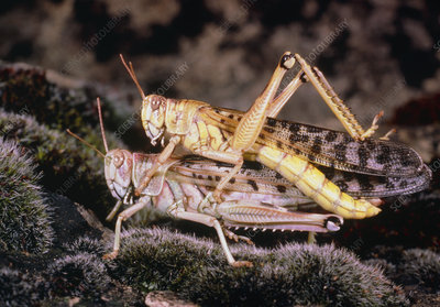 Image of the copulation of two desert locust