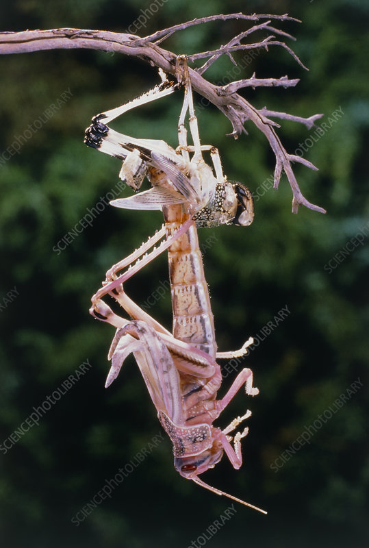 Macrophotograph of the moult of a desert locust