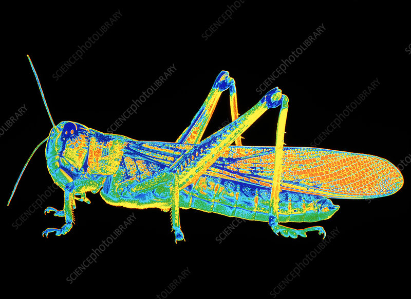 Coloured photograph of a locust