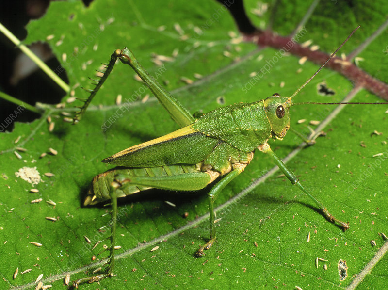 Agriacis scabra grasshopper in rainforest, Ecuador