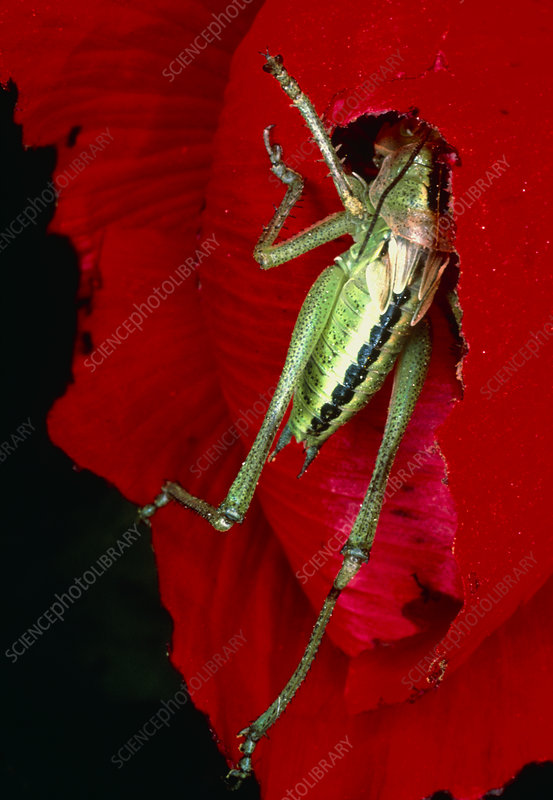 View of a bush-cricket feeding from a red flower