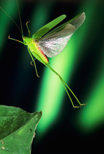 High-speed photo; speckled bush-cricket in flight