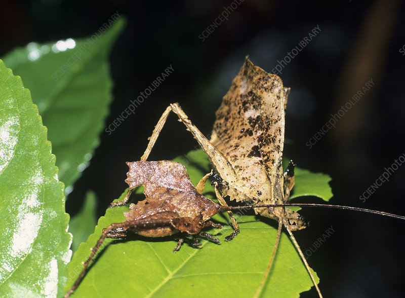 Leaf mimic bush crickets