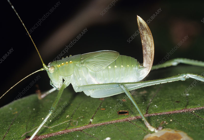 Bush cricket with ovipositor