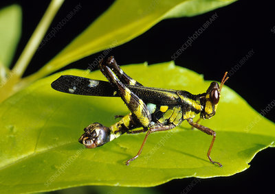 Tropical Grasshopper