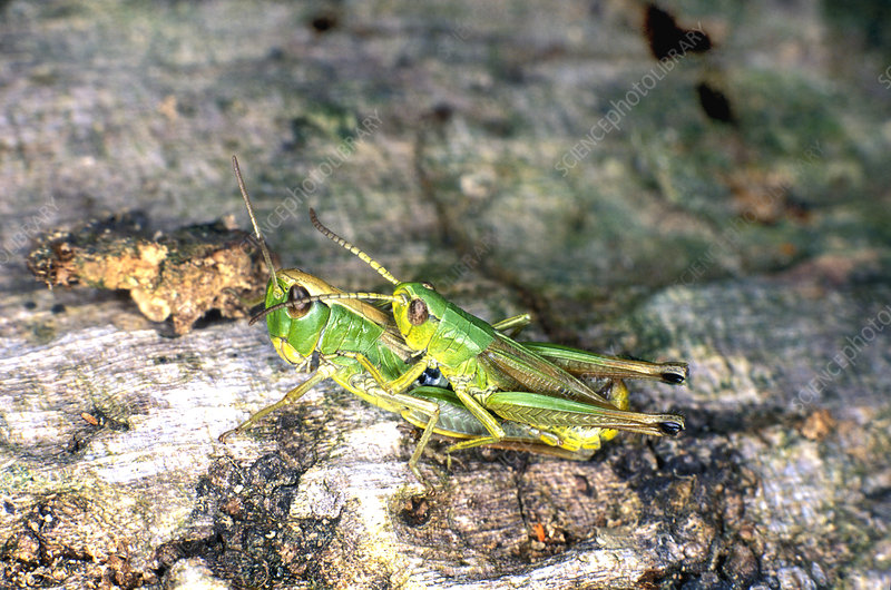 Meadow grasshoppers mating