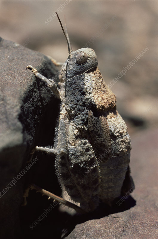 Stone mimic grasshopper