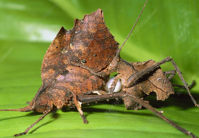 Dead-leaf bush crickets mating