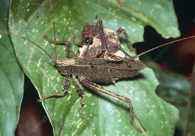 Mating dead-leaf bush crickets