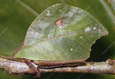 Leaf-mimic bush cricket