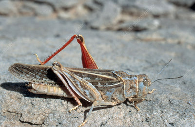 Red-shanked Grasshopper