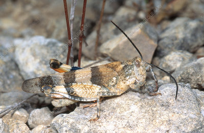 Three-banded Grasshopper Adult
