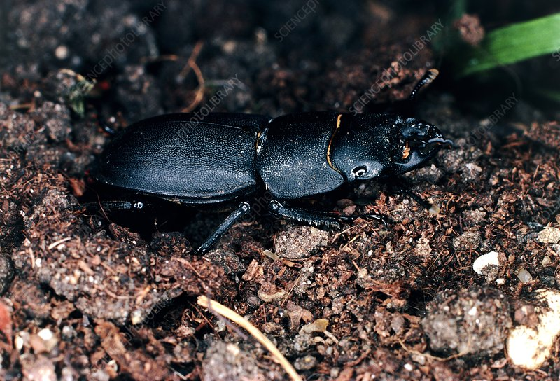 Macrophoto of the lesser stag beetle