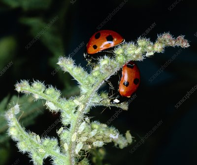 Seven spotted ladybird and stinging nettle plant