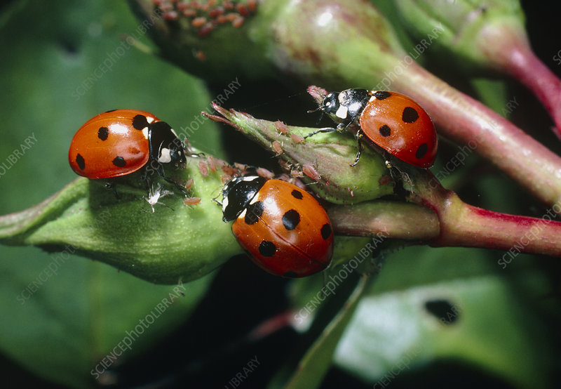 Three seven-spotted ladybirds