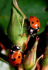 Adult seven-spotted ladybird eating aphid