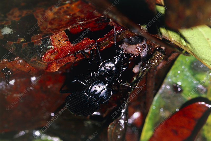 Mating ground beetles