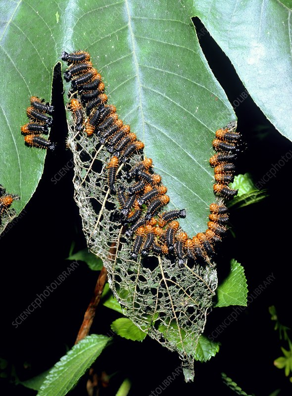 Army of leaf beetle larvae