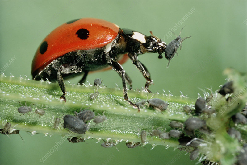 A ladybird feeding on aphids