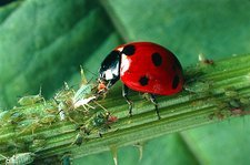 Adult seven-spotted ladybird feeding on an aphid